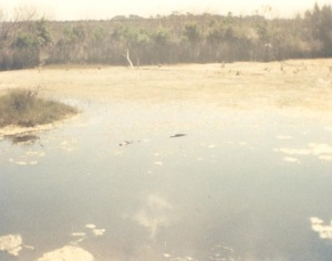Alligator, in the water, RIGHT next to the trail.